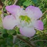둥근잎호주매화|
