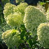 라임라이트,네덜란드수국,목수국,수국 개화주|Hydrangea macrophylla