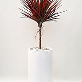 드라세나 마지라타 레인보우 (시멘트롱완성분) 대품 大 인테리어식물