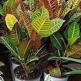 크로톤(중싸이즈)|Codiaeum Variegatum Blume Var Hookerianum