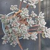 아모에나금 묵은둥이 Echeveria amoena