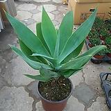 아가베/공기정화식물|