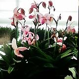 파피오페딜럼(델레나타교배종).꽃피었던중묘.여성스러운꽃(핑크색).한대에 여러송이꽃(촉이많은상품)상태굿.|