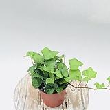 음지식물 아이비 수경재배 넝쿨식물 공기정화식물|Heder helix