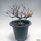 장수매 no2.(사계절 꽃피우는 장수매) / 홍매화|Echeveria Multicalulis  Ginmei Tennyo