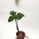 세쌍둥이 몬스테라 음지식물 넝쿨식물 공기정화식물|