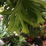 롱기폴리아/나무화분/공기정화식물|