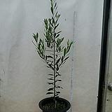올리브열매나무/네츄럴 올리브/사진그대로/높이105센치|