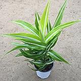 드라세나 와네키/공기정화식물/35-40cm Dracaena