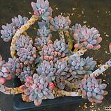 베이비핑거1111-536|Pachyphytum Machucae (baby finger)