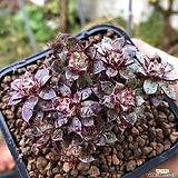 아즈타트렌시스목대자연군생1|Echeveria longissima var aztatlensis