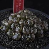 XP3124-C.pellucidum ssp. pellucidum var. neohallii(Windhoek)네오할리 빈트후크 19두|