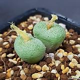 코노피튬 트런카툼 대형종 군생|Conophytum