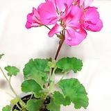 유럽제라늄(분홍의 아름다운 꽃이 탐스런)+슬릿화분(완성분) Geranium/Pelargonium