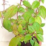 목노보단 빈티지플랜트(잎이 너무 아름답습니다.보라꽃이 피는)+빈티지토분 세트(완성분) 