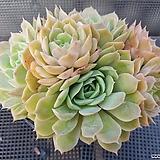 온슬로우 묵은둥이 Echeveria cv  Onslow