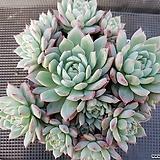 자가로즈 묵은둥이 Echeveria mexensis Zaragosa