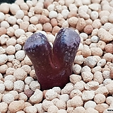 Conophytum reconditum ARM1266  (일본수입.분채배송)|