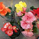 꽃베고니아5개묶음|Begonia