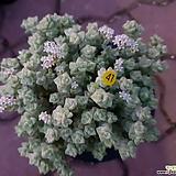 희성금|Crassula Rupestris variegata