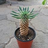 괴마옥/파인애플 선인장|Euphorbia hypogaea