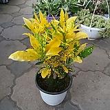 목대크로톤/점박이크로톤/색상이이뻐요|Codiaeum Variegatum Blume Var Hookerianum