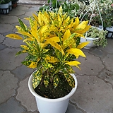 목대크로톤/색상이 이뻐요|Codiaeum Variegatum Blume Var Hookerianum