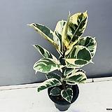 수채화 고무나무|Ficus elastica