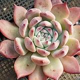 원종콜로라타 182|Echeveria colorata