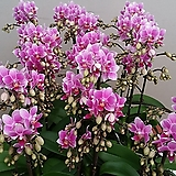 호접란.엑셀아모르(사랑스러운형).쌍대.봉우리많음.(귀여운 핑크색).다시입고.고급종.잘나오지않는품종.|