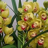 심비디움 .노란.그린색에 붉은립프.꽃대2대.부케용꽃.고급종.잎촉많은상품.은은한향|