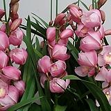 심비디움 인더무드(뭉실뭉실예쁜핑크색).심비의대표적인핑크색.꽃대3대.부케용꽃.잎촉많은상품.은은한향.|