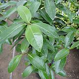 아왜나무-대품산세베리아 보다4 배이상 새집증후군]포름알데히드[을 제거 하며 음이온 다량방출|Sansevieria