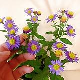 보라미니쑥부쟁이(한들한들 귀여운 꽃)+화이트슬릿화분 세트 