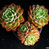 라임앤칠리 3 Echeveria Lime & Chile Chile