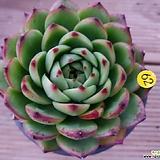 에케문스톤|Pachyphytum Oviferum Moon Stone