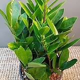금전수(15센치) 튼튼한 아이에요|Zamioculcas zamiifolia