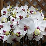 호접란(레드립).꽃형큰형.고급종.(흰색에 빨강색립프).꽃피었던 중묘.세련된색.|