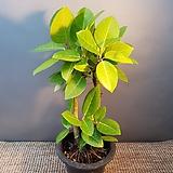 목대가 있는 뱅갈고무나무(중품) 미세먼지제거|Ficus elastica