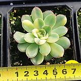 여제금|Echeveria pulidonis