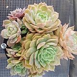 온슬로우금 Echeveria cv  Onslow