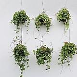 멜론디시디아 디시디아 행잉플랜트 틸란드시아 틸란 걸이식물 공중식물|Tillandsia
