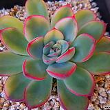 황홀한연꽃금187|Echeveria pulidonis