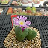 코노피튬 에르니아눔(핑크꽃)11-1155|Conophytum