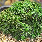 괴마옥철화(V003)|Euphorbia hypogaea