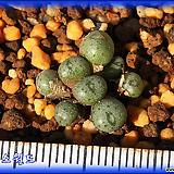 Conophytum Pium CR1417|