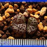 Conophytum obcordellum 紅紋 홍문|
