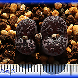 Conophytum Makins Plum 