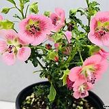 사계부용 (사계절 꽃을 피우는 목대좋은 소품입니다)|Echeveria Pulv-oliver