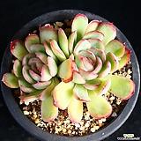 스트로베리 2 Echeveria Strawberry